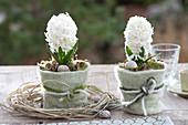 Hyacinthus orientalis 'White Pearl' ( Hyazinthen ) in Toepfen mit Filzverkleidun