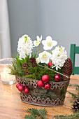 Helleborus niger ( Christrose ), Hyacinthus orientalis 'White Pearl
