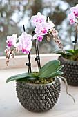 Topf mit Phalaenopsis ( Malayenblume, Schmetterlingsorchidee )