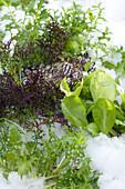 Brassica juncea ( Roter Rucola ) und Lactuca ( Salat ) im ersten Schnee