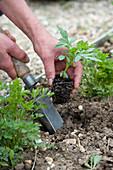 Jungpflanzen von Tagetes ( Studentenblumen ) ins Beet pflanzen
