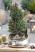 Picea glauca 'Conica' ( Zuckerhutfichte ) als lebender Weihnachtsbaum