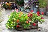 Alte Weinkiste mit Sommerblumen und Tomate bepflanzen :