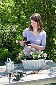 Zink - Jardiniere mit Mandevilla Sundaville 'Pink' 'White' bepflanzen :