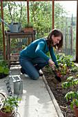 Tomaten im Gewaechshaus einpflanzen