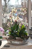 Phalaenopsis ( Malayenblume, Schmetterlingsorchidee, Nachtfalter-Orchidee )