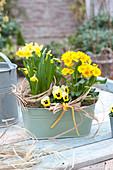 Primula elatior Crescendo 'Yellow' ( Primel ), Narcissus 'Tete a Tete'