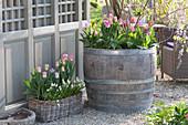 Holzfaß und Korbkasten bepflanzt mit Tulipa ( Tulpen ) und Muscari