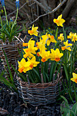 Narcissus 'Jetfire' ( Narzissen ) in Mini-Zaun aus Weidengeflecht