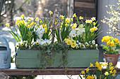 Narcissus 'Tete a Tete' ( Narzissen ), Primula ( Primeln ), Viola cornuta