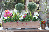 Thymus vulgaris ( Thymian ) Stämmchen, Bellis ( Tausendschön ), Primula