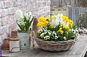 Weiß-gelb bepflanzte Korbschale : Viola cornuta Sorbet 'Lemon Ice Blotch'