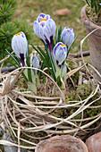 Crocus vernus 'Striped Beauty' ( Krokusse ) in Moos und Gras