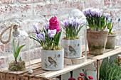 Crocus vernus 'Striped Beauty' ( Krokusse ) und Hyacinthus 'Jan Bos'