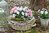 Viola cornuta Rocky 'Lavender Blush' ( Hornveilchen ), Primula acaulis