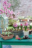Hyacinthus 'Pink Pearl' 'White Pearl' ( Hyazinthen ) und Kästen mit Sämlingen