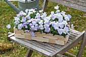 Viola cornuta Rocky 'Lavender Blush' ( Hornveilchen ) in Spankorb