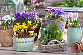 Vorfrühlings-Tischarrangement :  Crocus tommasinianus 'Whitewell Purple'