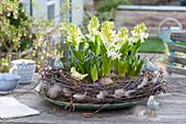 Hyacinthus orientalis ( Hyazinthen ) und Muscari aucheri ( Traubenhyazinthen