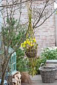 Nest aus Moos und Gräsern mit Eranthis hyemalis ( Winterlingen )