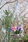 Primula acaulis 'Appleblossom' ( Primel ) und Muscari aucheri