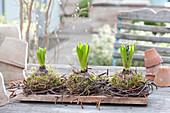 Knospige Hyacinthus ( Hyazinthen ) in Kränzchen aus Birkenzweigen