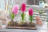 Blühende Hyacinthus ( Hyazinthen ) in Kränzchen aus Birkenzweigen