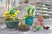 Eranthis hyemalis ( Winterlinge ) und Tulipa ( Tulpen ) in Schale