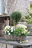 Korbkasten mit Primula ( Primeln ), Thymus vulgaris ( Thymian ) Stämmchen