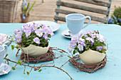 Viola cornuta Rocky 'Lavender Blush' ( Hornveilchen ) in Schalen