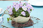 Viola cornuta Rocky 'Lavender Blush' ( Hornveilchen ) in Schale