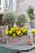 Schublade bepflanzt mit Thymus citriodorus 'Silver Queen'
