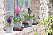 Zink-Töpfe mit Hyacinthus ( Hyazinthen ) und Scilla ( Blausternchen )