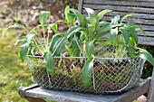 Drahtkorb mit Allium ursinum ( Bärlauch ) in Tontöpfen auf Stuhl im Garten