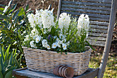 Hyacinthus 'White Pearl' ( Hyazinthen ), Viola cornuta ( Hornveilchen )