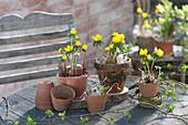 Eranthis hyemalis ( Winterlinge ) in Tontöpfen auf Gartentisch