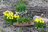 Narcissus 'Tete a Tete' ( Narzissen ), Muscari aucheri 'Mount Hood'