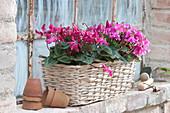 Cyclamen persicum 'Fleur en Vogue' ( Windrad - Alpenveilchen )