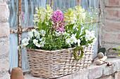 Hyacinthus 'White Pearl' 'Pink Pearl' ( Hyazinthen ), Viola cornuta