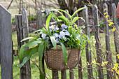 Allium ursinum ( Bärlauch ), Viola cornuta Rocky 'Lavender Blush'