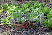 Allium ursinum ( Bärlauch ) in Tontöpfen im Drahtkorb und im Beet