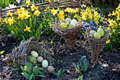 Ostern im Garten mit Narcissus 'Jetfire' 'Tete a Tete' ( Narzissen )