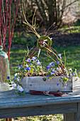 Anemone blanda ( Frühlings-Anemone ) im Holzkasten, Zweige von Cornus
