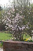 Prunus kurilensis ( Kurilenkirsche ) im Frühlingsbeet hinter Gartenmauer