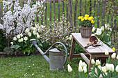 Weißes Frühlingsbeet : Prunus ( Zierkirschen ), Tulipa 'Purissima' ( weiße