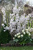 Prunus kurilensis ( Kurilenkirsche ), Tulipa 'Purissima' ( Tulpen )