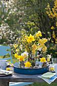 Sträuße aus Narcissus ( Narzissen ) und Zweigen von Forsythia