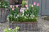 Korbkasten mit Tulipa 'Akela' ( Tulpen ) und Muscari aucheri 'White Magic'