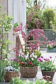 Malus 'Liset' ( Zierapfel ), Tulipa 'Shirley' 'Purple Prince' 'Claudia' ( Tulpen