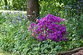 Rhododendron obtusum 'Königstein' ( Japanische Azalee ) und  Aquilegia